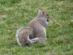 Eichhörnchen im Boston Commons Park