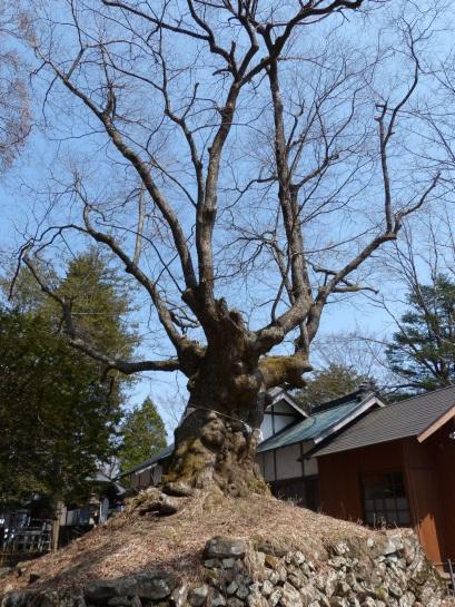 800 Jahre alter Baum im Tempel auf dem Usui-Paß
