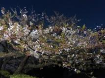 Nächtliche Kirschblüte in Tokio