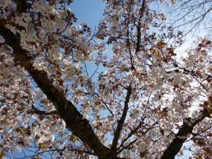 Kirschblüte auf dem Takao